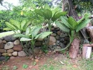 Ці кімнатні рослини небезпечні для здоров'я